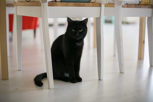 czarny kot - przesądy